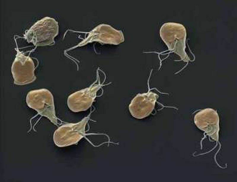 Das Wirksamste Mittel Von Parasiten Für Den Menschen